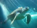 Turtle_by_inedicabilis.jpg